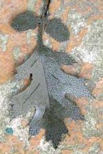 Oak Leaf Windcatcher - Product Image